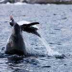 Belfast travel photographer - Death of a Penguin - Antarctica