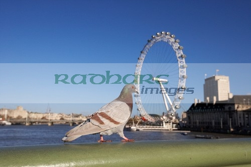 London pigeon walking across westminster bridge over the river thames with london eye England UK United kingdom